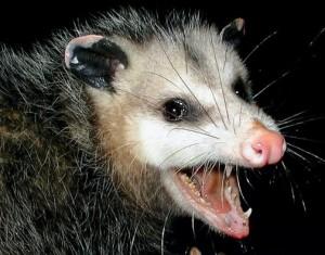 possum-300x235.jpg